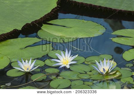 Three Blue Lotus Of Egypt, Nymphaea Caerulea Waterlilies