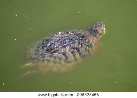 the big tortoises in river turbid water