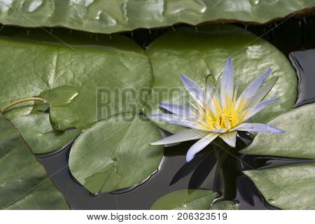 One Blue Lotus Of Egypt, Nymphaea Caerulea Waterlilies