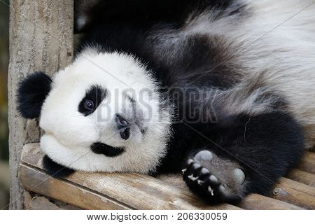 Nuan Nuan (means warmth) the first Malaysian-born Panda cub lying down on the wooden bench at Panda Conservation Centre in Kuala Lumpur July 24 2017.