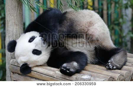 Nuan Nuan (means warmth) the first Malaysian-born Panda cub is lying on the wooden bench at the Panda Conservation Centre in Kuala Lumpur Malaysia July 24 2017.