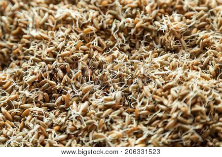 Germinated seeds of wheat, malt, natural background