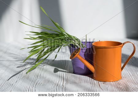 Bucket With Fresh Young Green Grass Wheat Stands On The Wooden Table.