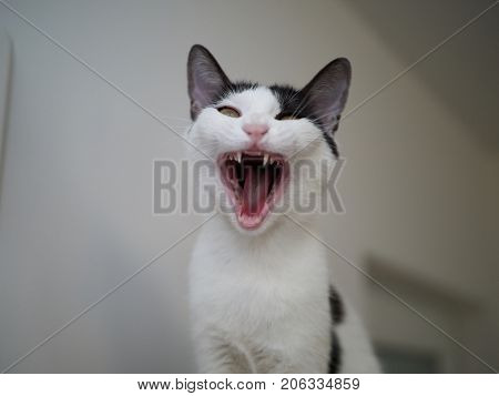 portrait of white-grey cat screaming isolated on blur background