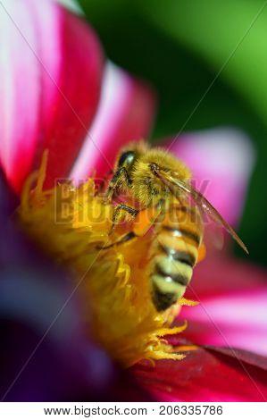 Honey bee (Apis mellifera) on white red dahlia. Vertical close up image.