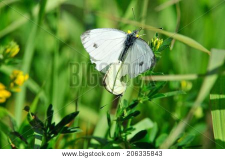 Pieris brassicae, the large white, cabbage butterfly, cabbage white, cabbage moth, large cabbage white, is a butterfly in the family Pieridae. Male and female, butterflies in the breeding season.