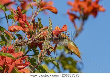 Tiny Cute Male Rufous Hummingbird Sucking On Nectar Of A Flower