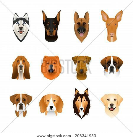Set collection of isolated colorful head and face of airedale terrier beagle chow husky pharaoh hound saint bernard labrador collie doberman boxer. Color flat cartoon breed dog portrait