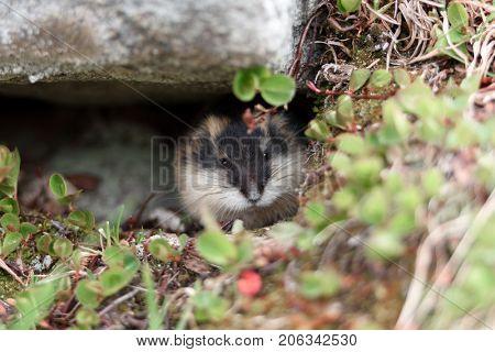 Small norwegian lemming