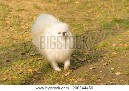 Spitz iimportant paces proudly up his nose. Space under the text. 2018 year of the dog in the eastern calendar Concept: parodist dogs, dog friend of man, true friends, rescuers.