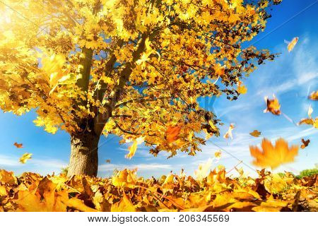Maple tree against the blue sky on a nice autumn day with yellow leaves falling to the ground