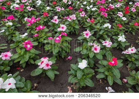 Colorful Flowers Of Madagascar Periwinkle In The Flowerbed