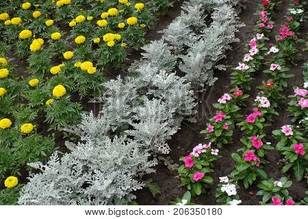 Diagonal Row Of Dusty Miller Between Marigold And Madagascar  Periwinkle