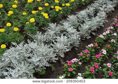 Flowerbed With Strips Of Silver Ragwort, Marigold And Rosy Periwinkle