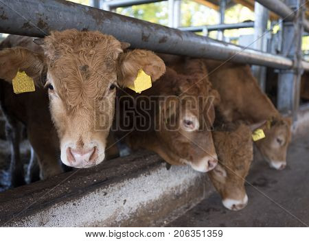 four limousin calves wait for food inside open barn on organic farm in the netherlands near utrecht