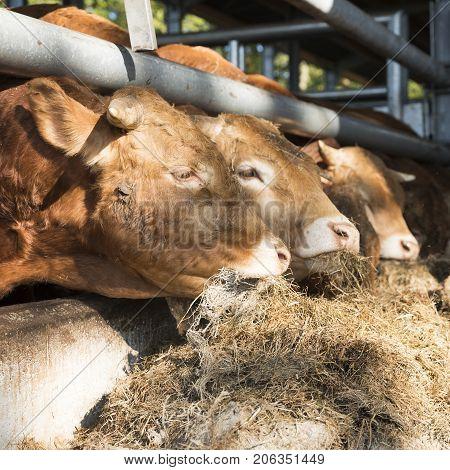 three limousin bulls feed inside open barn on organic farm in the netherlands near utrecht
