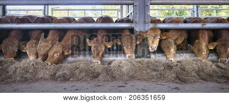 row of young limousin bulls feeds inside open barn on organic farm in the netherlands near utrecht