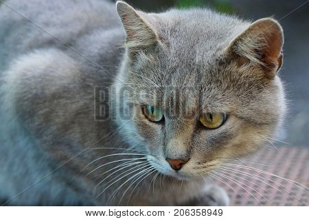 Gray big cat with green eyes on the street