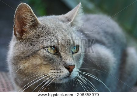 Gray big cat with green eyes sitting on the street