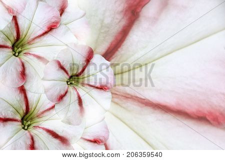 Floral white-red beautiful background. Flower composition. White-red flower Petunia. Petals of flower close-up. Nature.