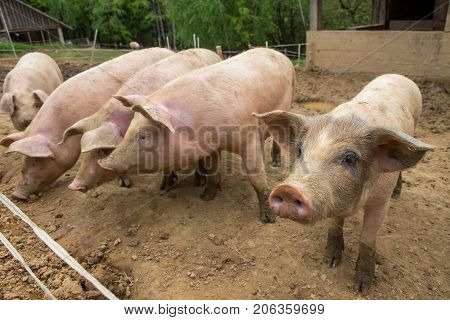 Herd Of Pigs At Pig Breeding Farm