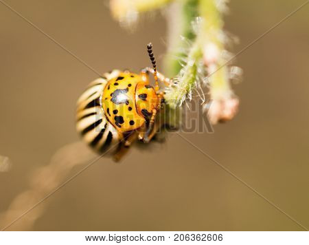 Colorado beetle on tomato in nature. macro