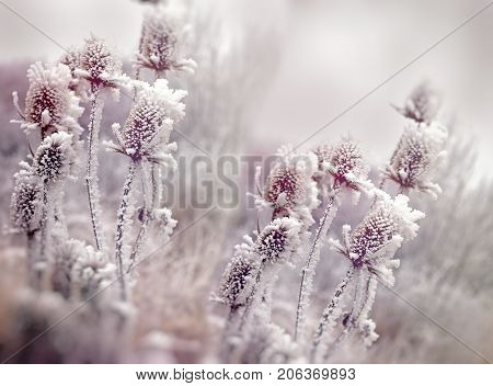 Hoarfrost on thistle - burdock, morning fog and frost in the meadow