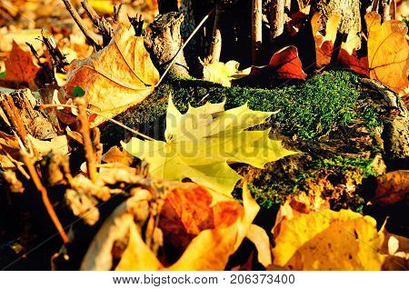 Autumn leaves covering the ground in the autumn forest. Shallow DOF, focus at the maple autumn leaves. Autumn background. Fallen autumn leaves under sunlight. Forest autumn nature. Closeup of autumn leaves
