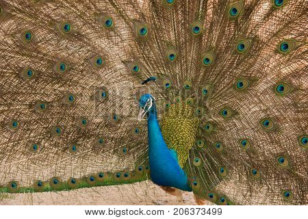 Photos of peacocks showing beautiful feathers.animal wildlife