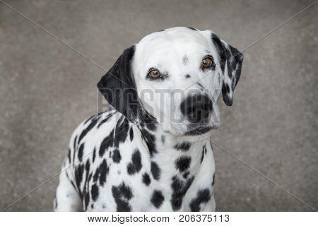 Portrait of a Dalmatian dog sitting outside