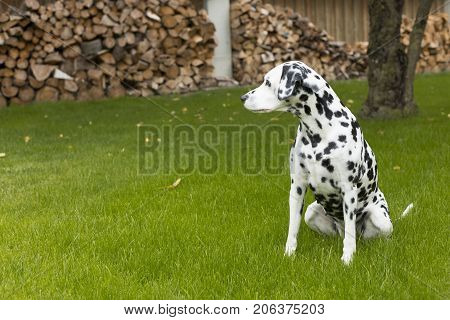 Dalmatian dog sits outside in the garden