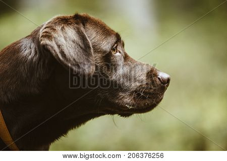 Portrait Of A Brown Labrador Dog Outside