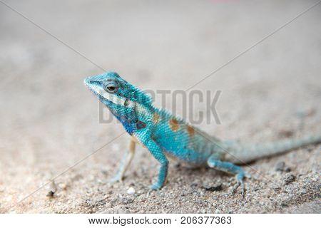 Close up blue chameleon on Sandy floor