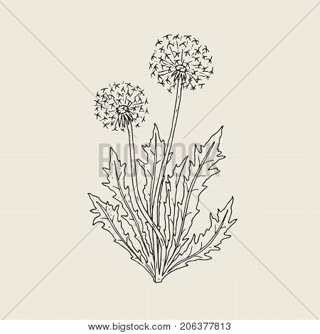 Beautiful drawing of dandelion plant with ripe seed heads or blowballs growing on stems and leaves. Meadow flower or wild flowering herb hand drawn in retro style. Natural vector illustration