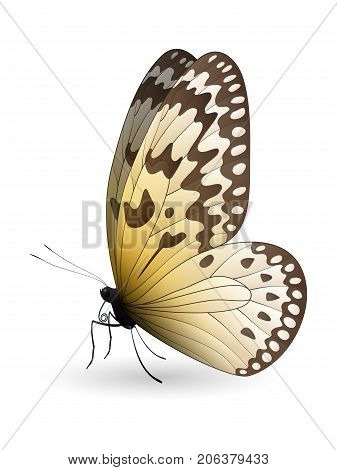 Idea leuconoe, the paper kite, rice paper or large tree nymph isolated on a white background. Vector 3D illustration
