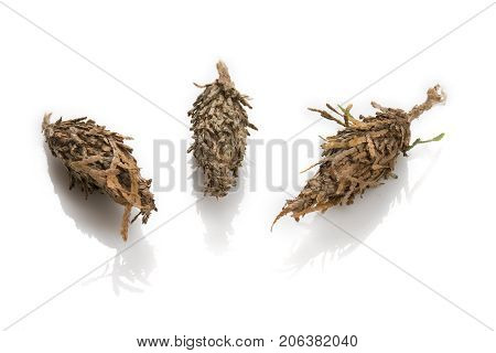 Three Bagworm Pupa Separated