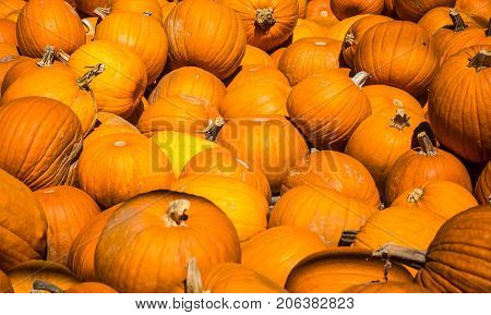 Hundreds of Pumpkins in large group piled up for Halloween a spooky Trick or Treat American Holiday all these pumpkins will be used for Pies and Decorations and Jackolanterns