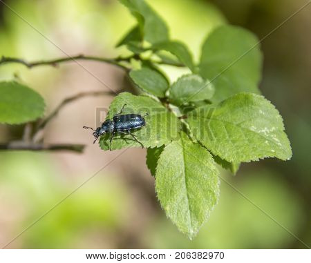 chatoyant blue beetle on twig with leaves