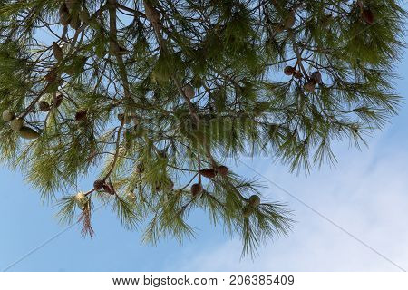 Pine cones on a pine tree pinus in the garden. Pine branches on the blue sky background