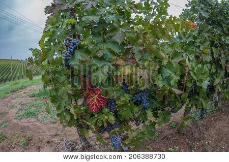 Detail from one vineyard in Romania with grapes and foliage on hill in autumn.