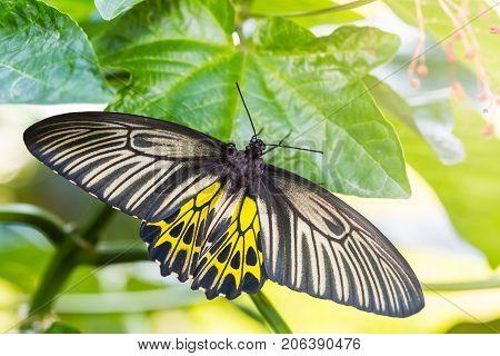 Female Golden Birdwing (troides Aeacus) Butterfly