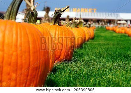 Ripe Pumpkins in a Field. Helloween, autumn