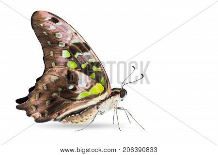 Tailed Jay (graphium Agamemnon) Butterfly