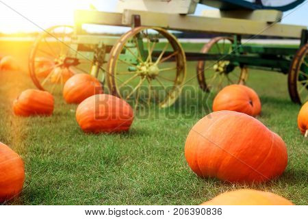 Ripe Pumpkins in a Field. Helloween. Autumn