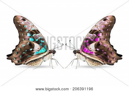 Teal And Purple Color Tailed Jay (graphium Agamemnon) Butterfly