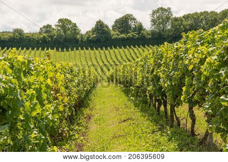 Rows of grape vines in vineyard at Dorking Surrey England