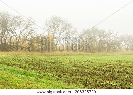 Field with green sprouts of winter wheat on a foggy autumn day