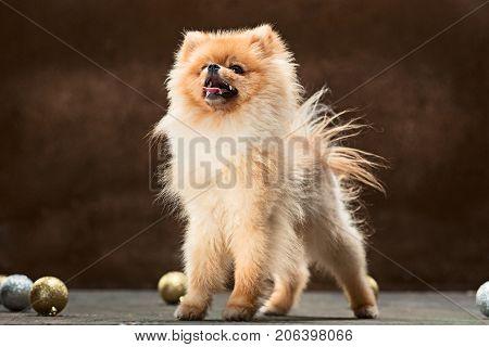 Spitz Pomeranian or Spitz-dog in studio on a dark background with christmas balls