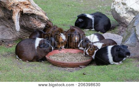 Portrait Of Guinea Pigs Eating
