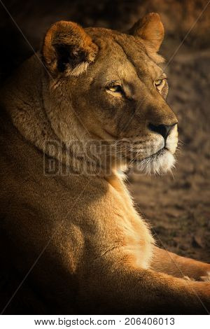 Colorful portrait of a lioness. Beautiful lioness.